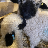 Hamish & Innis - our Valais Blacknose lambs